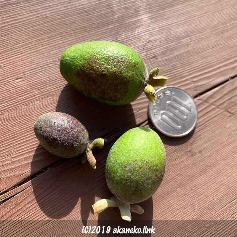 大きさが不揃いのフェイジョア・クーリッジの果実