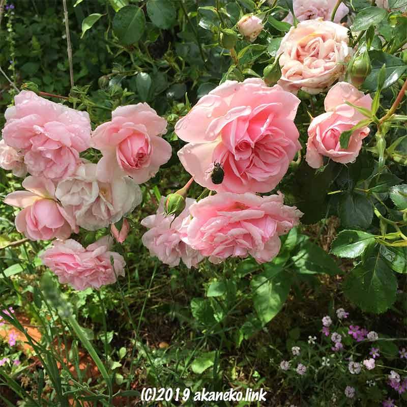 雨の日のピンク色のバラの上のコガネムシ