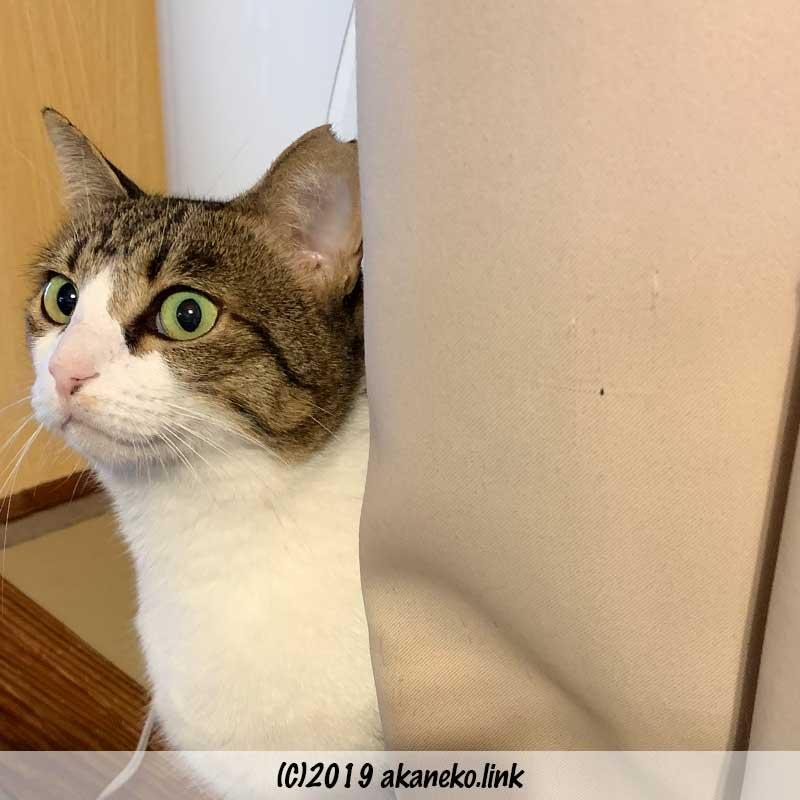 カーテンの陰から覗くキジ猫