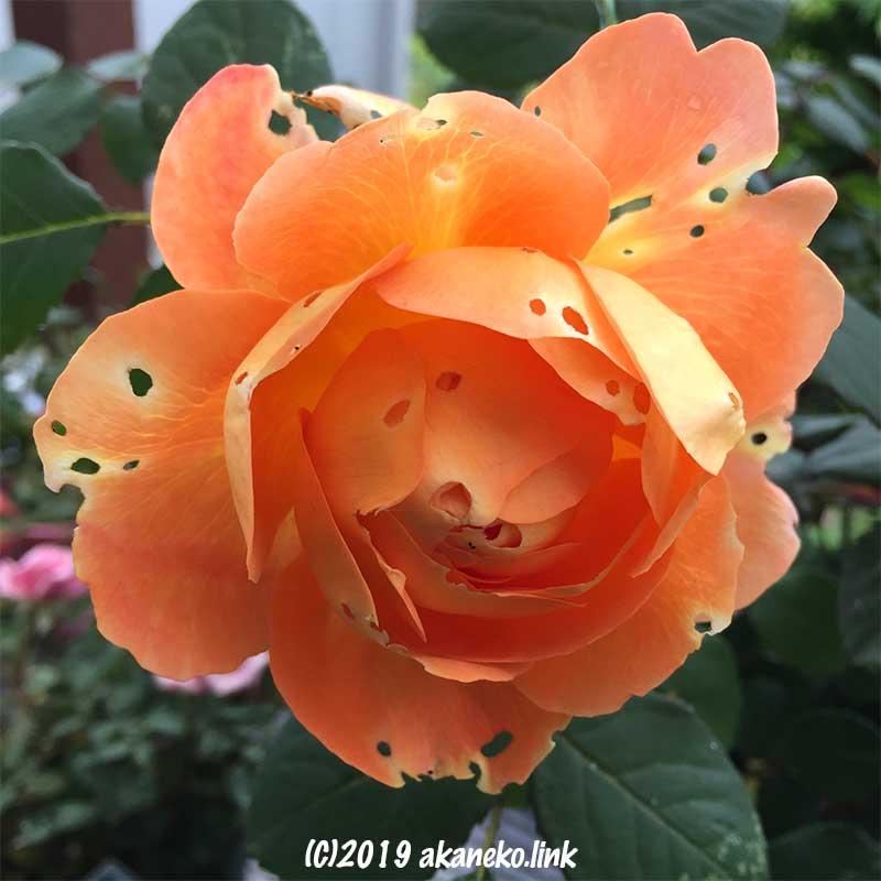 虫食い穴のあるオレンジ色のバラ(レディ・エマ・ハミルトン)
