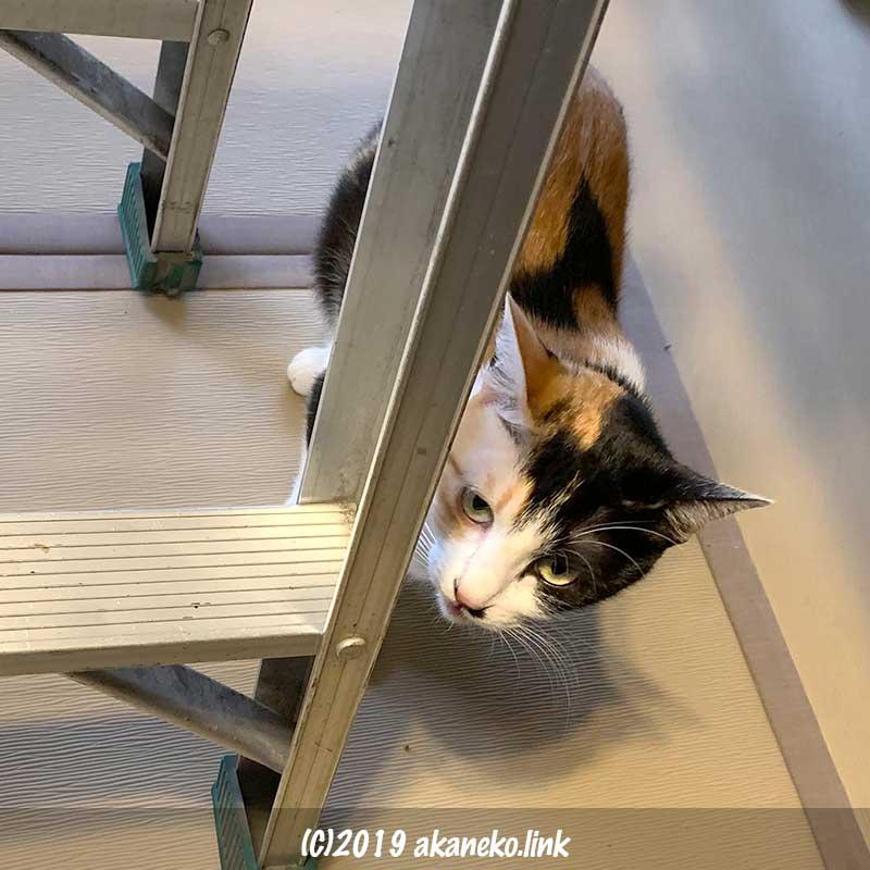 脚立の足を嗅ぐ三毛猫