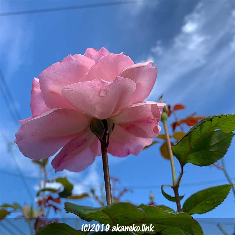 青空に向かって咲くピンクのバラ(クイーンエリザベス)