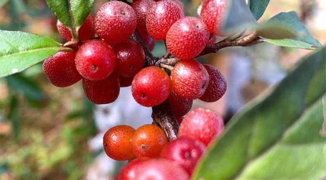 秋のロシアンオリーブ:赤い果実の収穫
