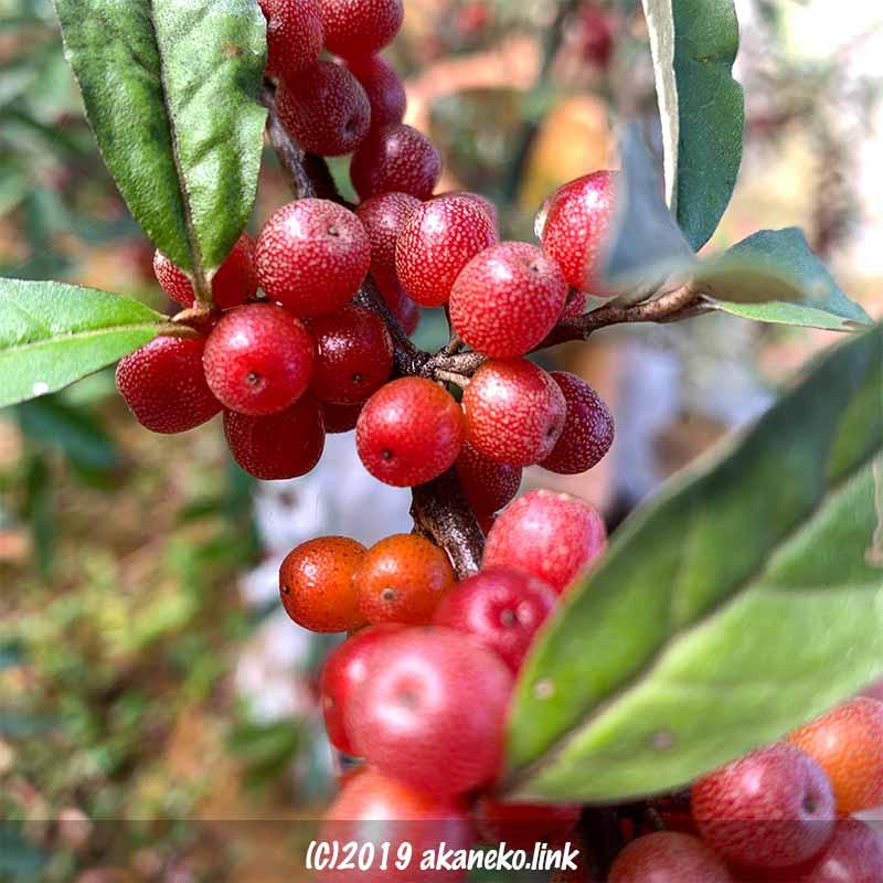 赤い実がびっしりついたロシアンオリーブ(ホソバグミ、ヤナギバグミ)