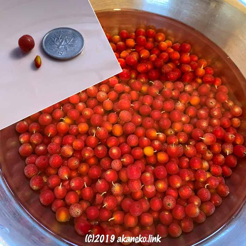 ロシアンオリーブ(ホソバグミ)の赤い果実を水につける。タネと果実の大きさを一円玉と比較する