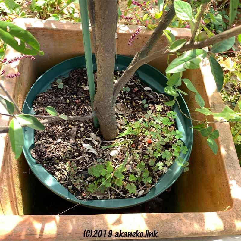 鉢植えのロシアンオリーブの根元