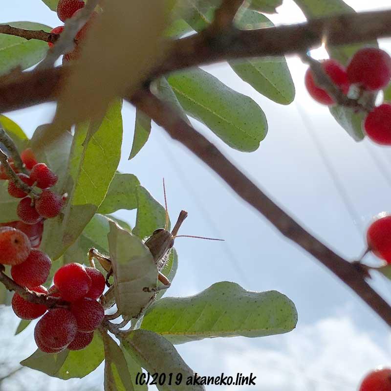 ロシアンオリーブの葉陰からこちらをのぞいているツチイナゴ