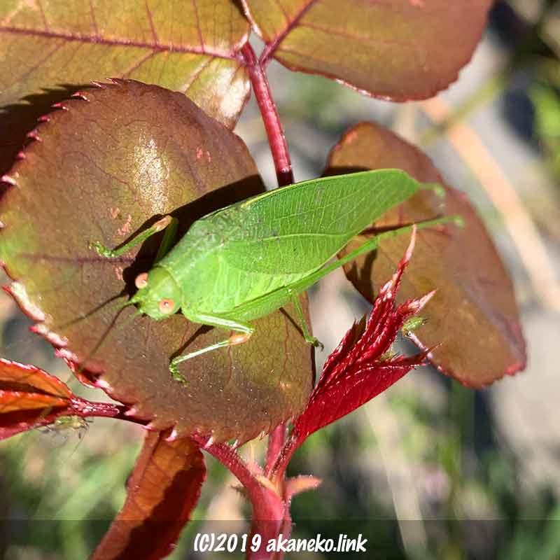 秋バラの新葉の上で日向ぼっこ中の緑色のバッタ(ヒメクダマキモドキ)