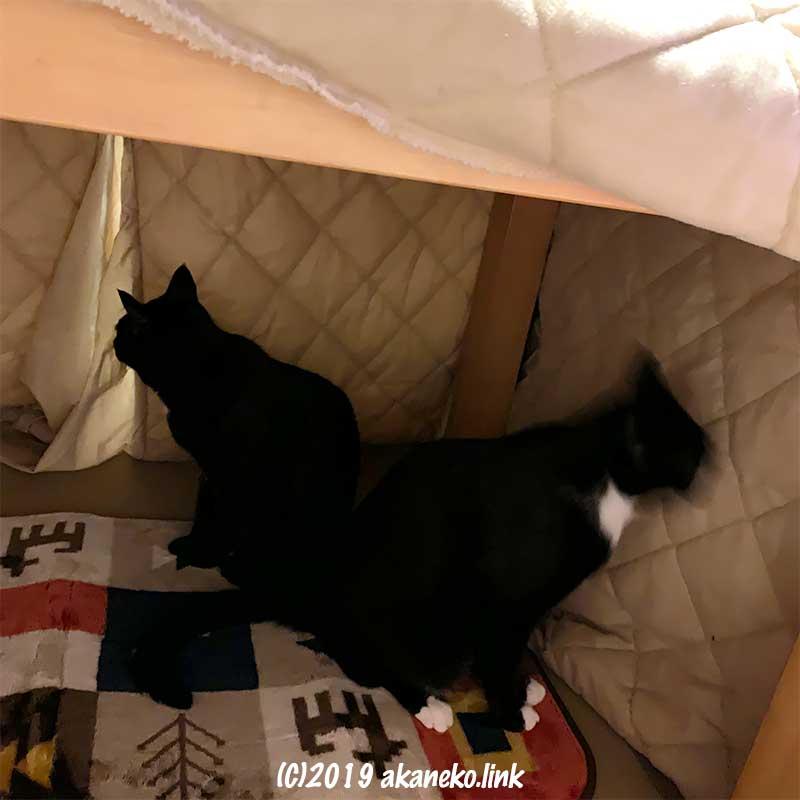 出したばかりのこたつを占領中の2匹の猫