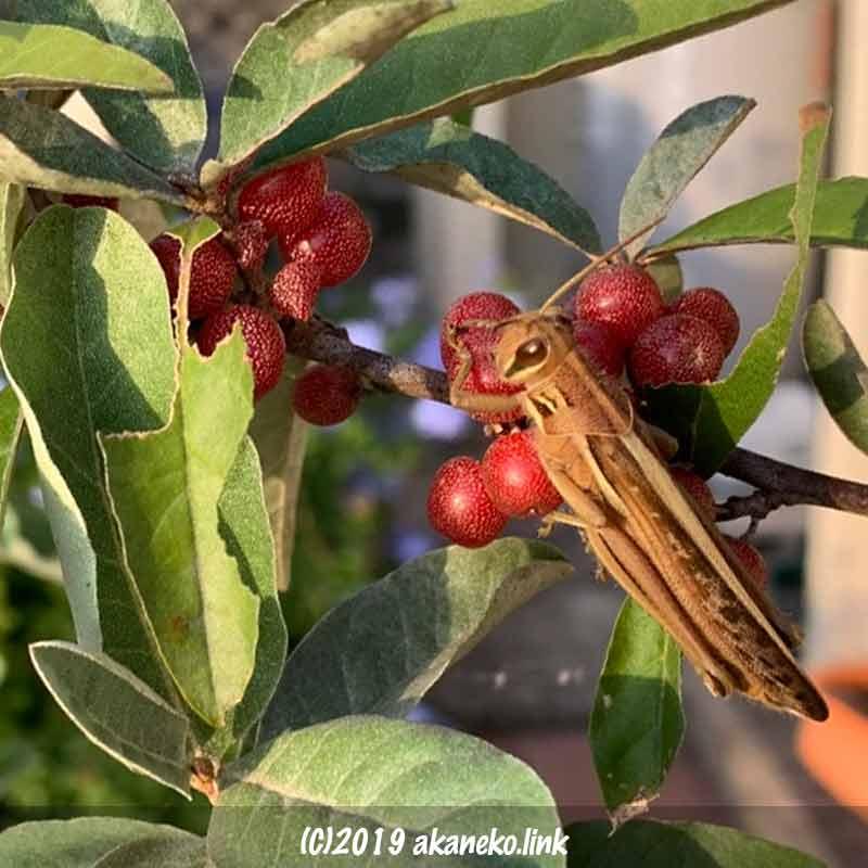 ロシアンオリーブの実とツチイナゴ