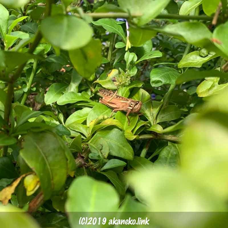 ルリマツリの茂みの中で日光浴中のツチイナゴ