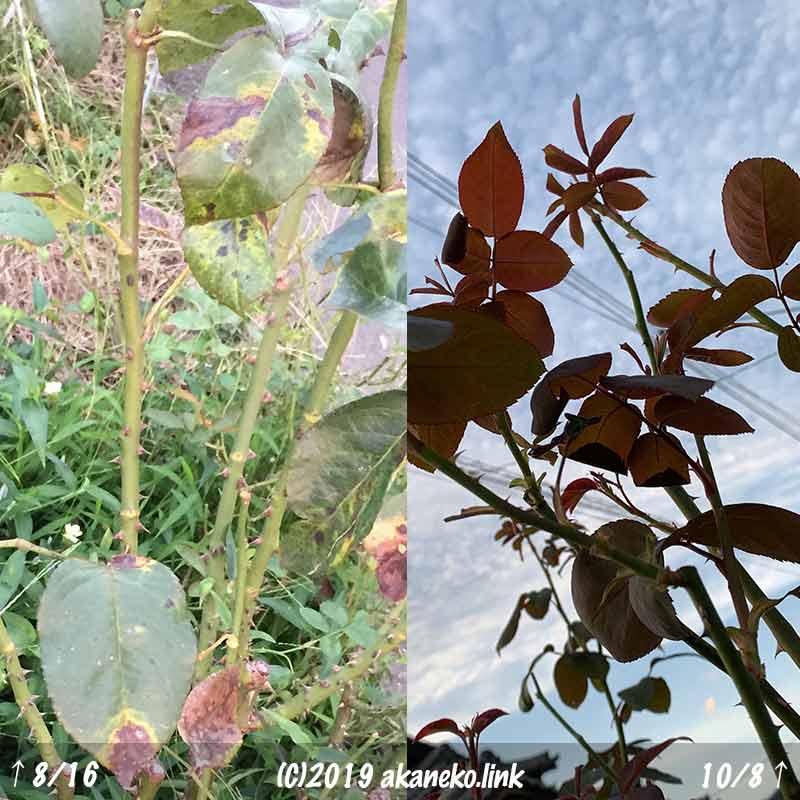 夏の黒星病で落葉、10月に新芽