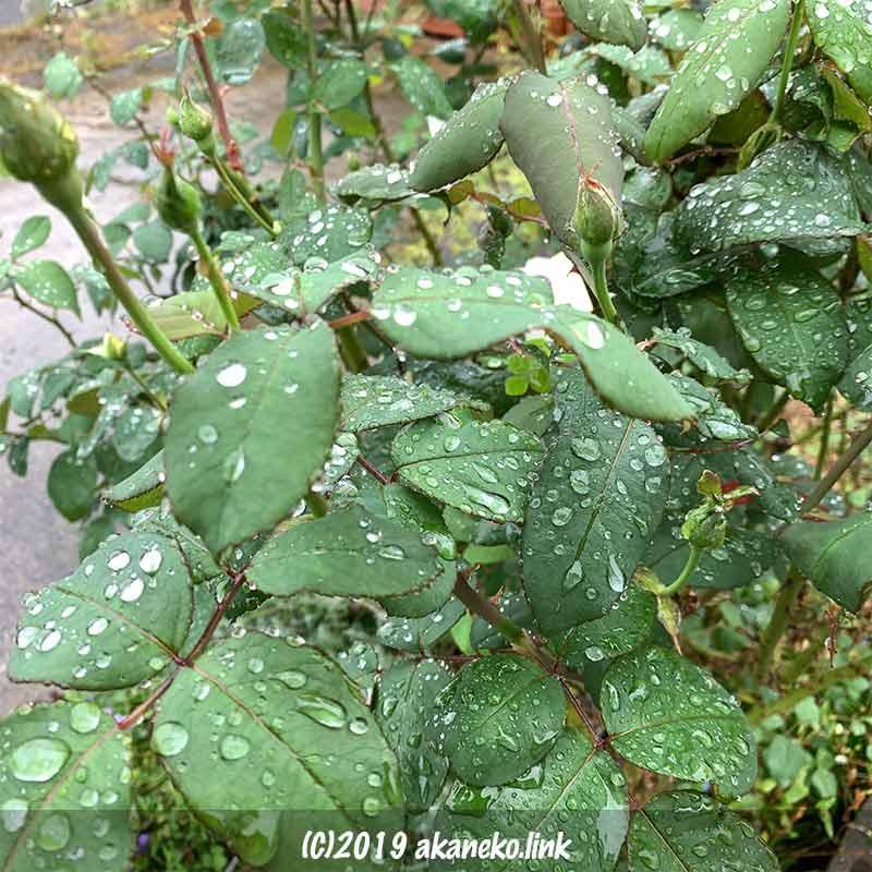 雨に濡れるバラの葉
