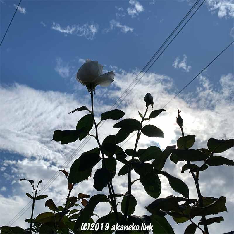 青空に渡る電線とバラのシルエット