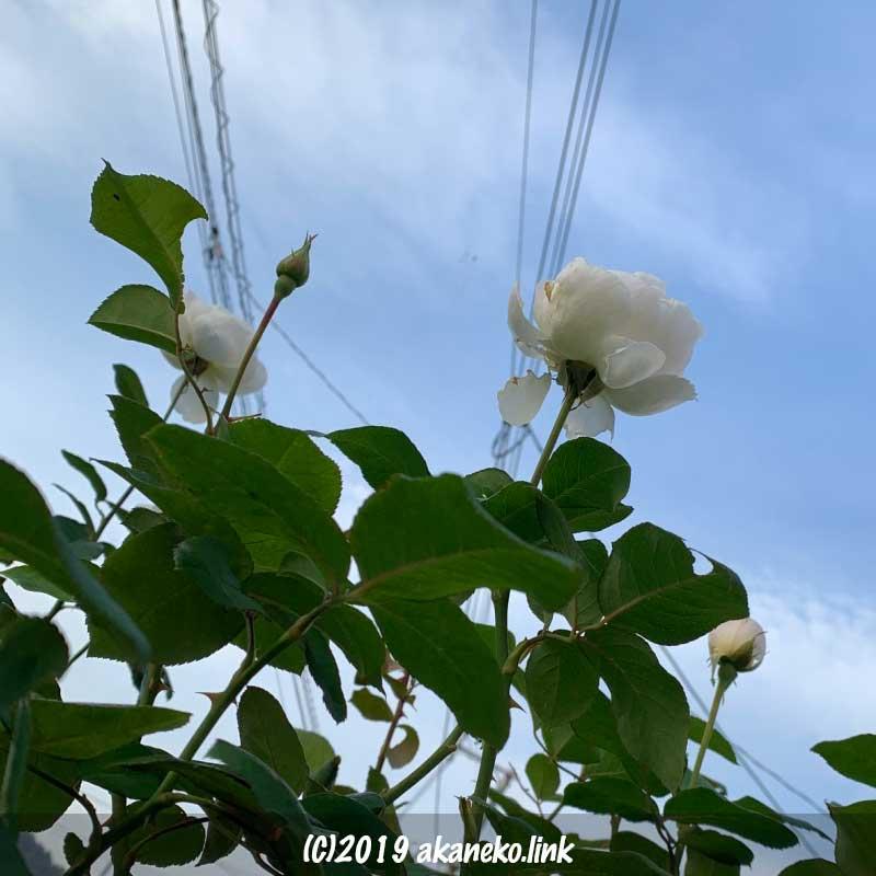 11月の白薔薇