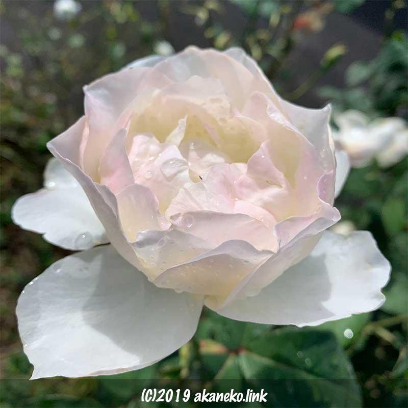 朝露に濡れた白薔薇の花