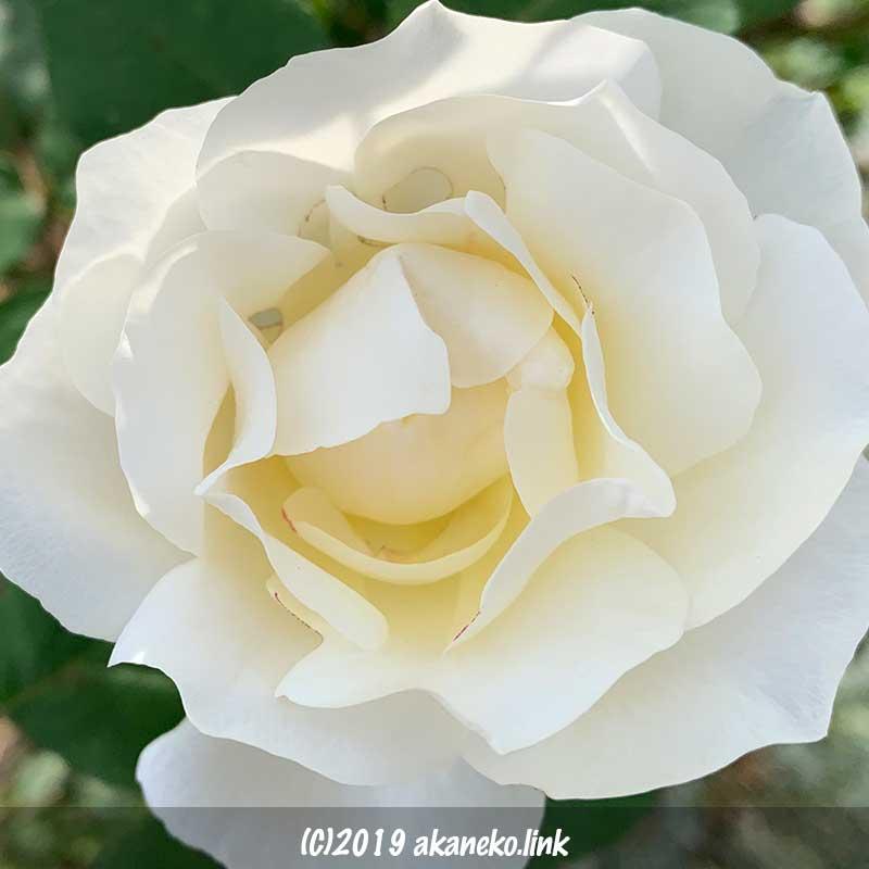 虫食いのある白いバラ