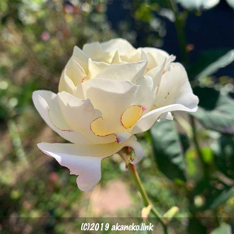 虫食い白薔薇