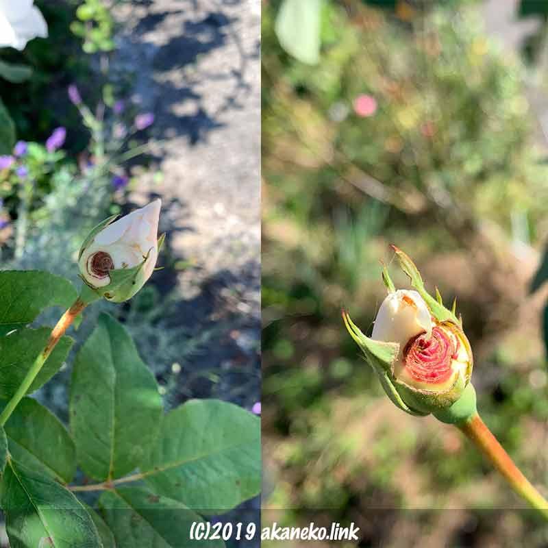 虫食いのある白薔薇の蕾