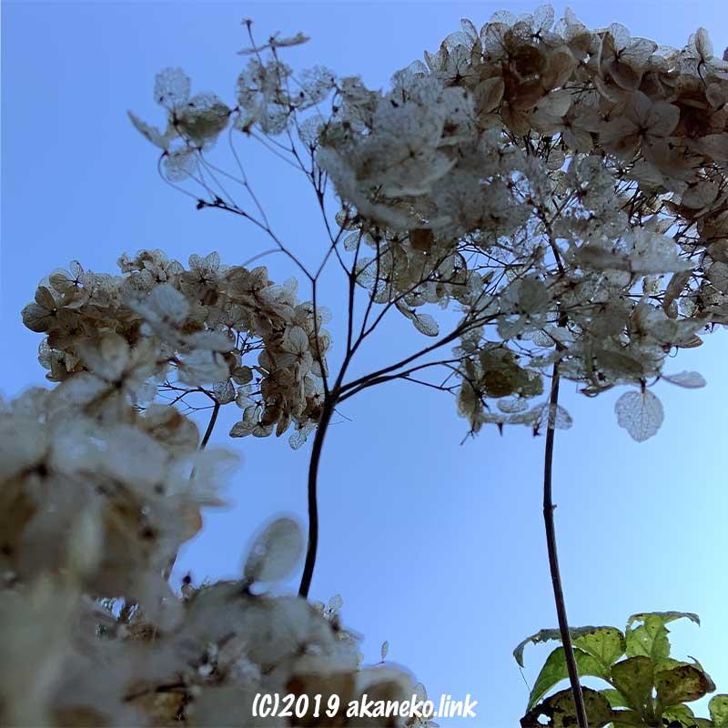 紫陽花アナベルの冬枯れ