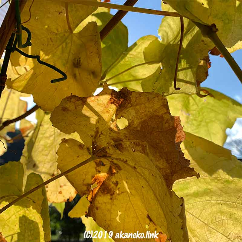 ぶどうの葉の冬枯れ