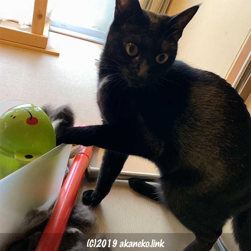 いたずらしてるところを見つかってしまった黒猫