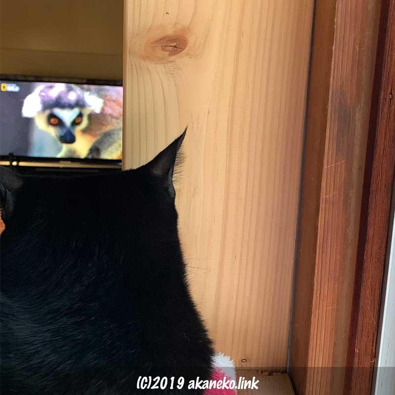 遠くからテレビを見る猫