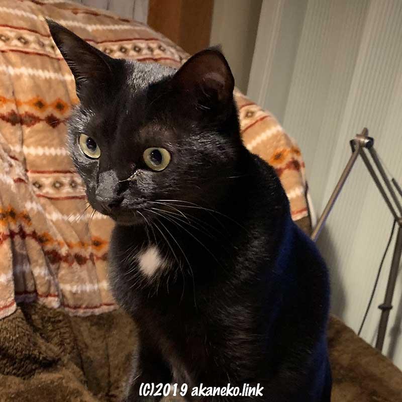 一点を見つめている黒猫