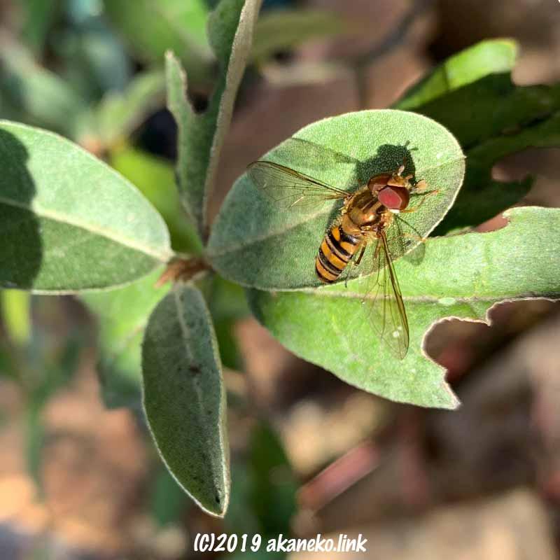 ロシアンオリーブの葉に止まったヒラタアブ