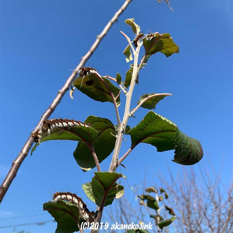 りんごの葉に群がった毛虫たち(キバラケンモンの幼虫)