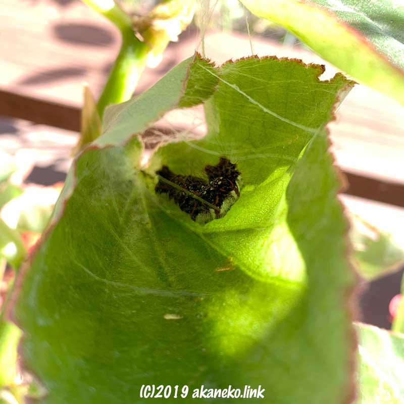 ベゴニアの葉の中で繭になる準備を始めたキバラケンモン