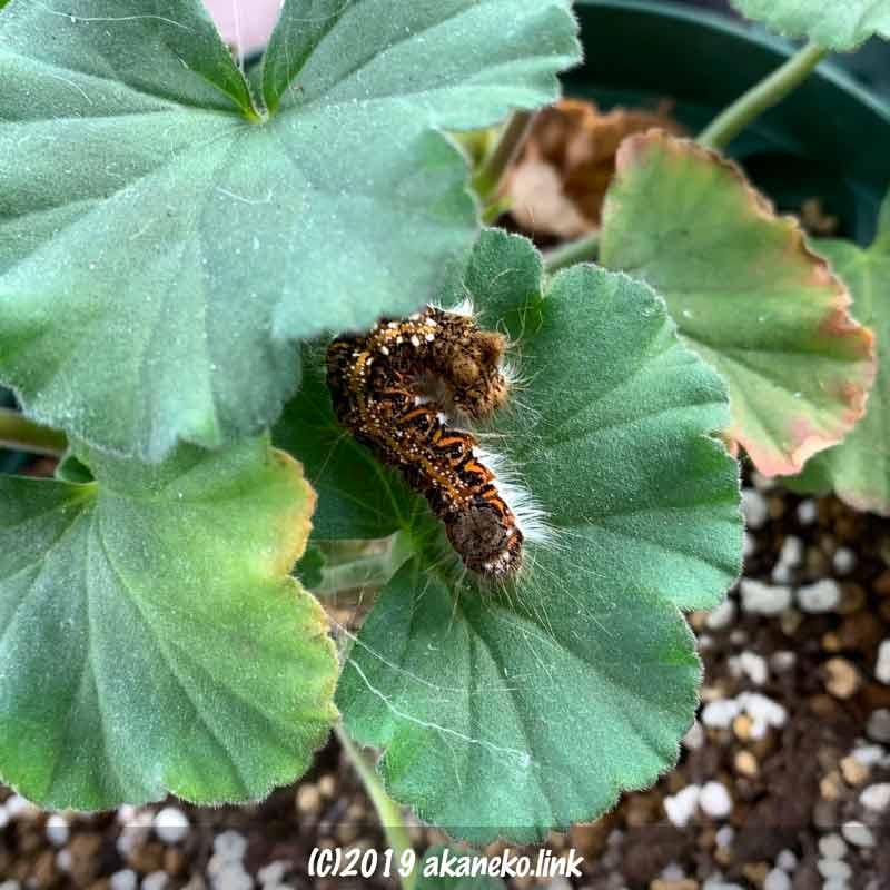 ゼラニウムの葉で営繭を始めるキバラケンモンの幼虫