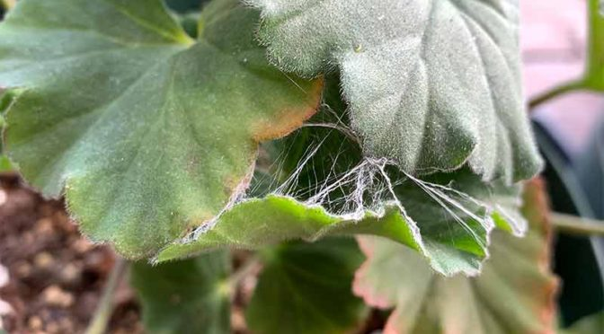 キバラケンモンの幼虫が綴じ合せたゼラニウムの3枚の葉っぱ