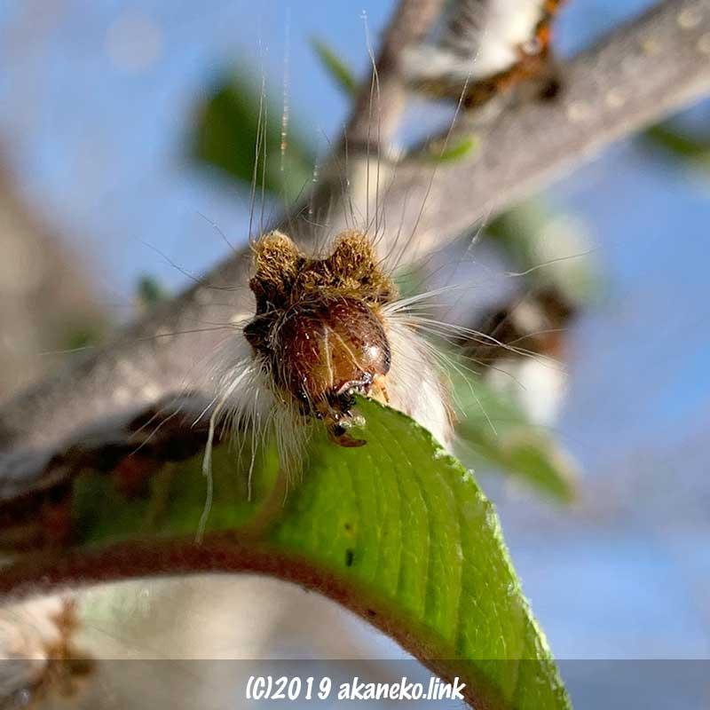 りんごの葉をかじる毛虫(キバラケンモン)