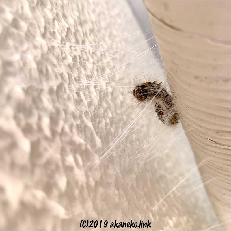 外壁とエアコンホースの間で繭を作る毛虫(キバラケンモン)