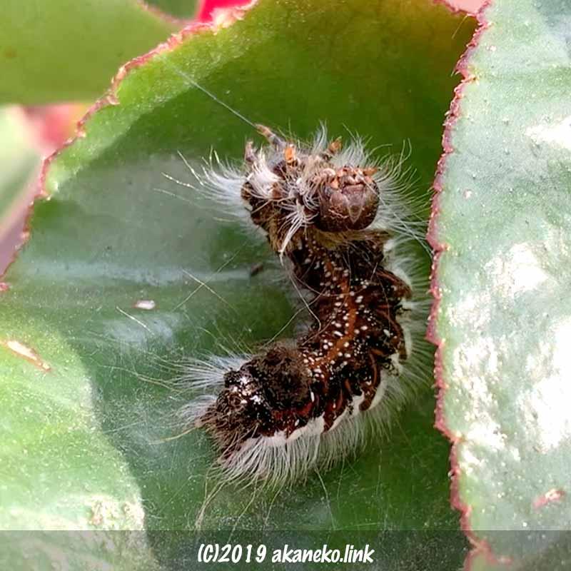 糸を吐いてベゴニアの葉を綴りあわせるキバラケンモンの幼虫