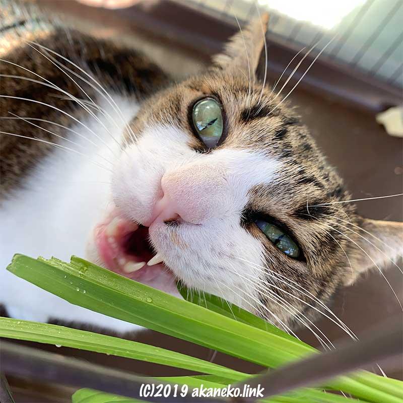 猫草に噛み付いているキジ猫