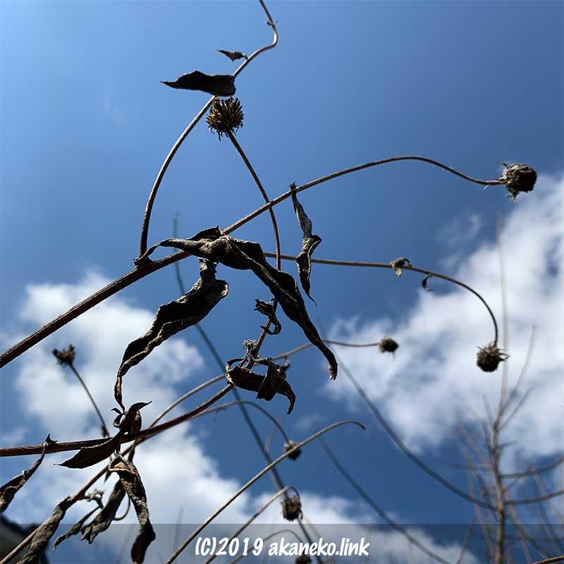 菊芋の冬枯れ