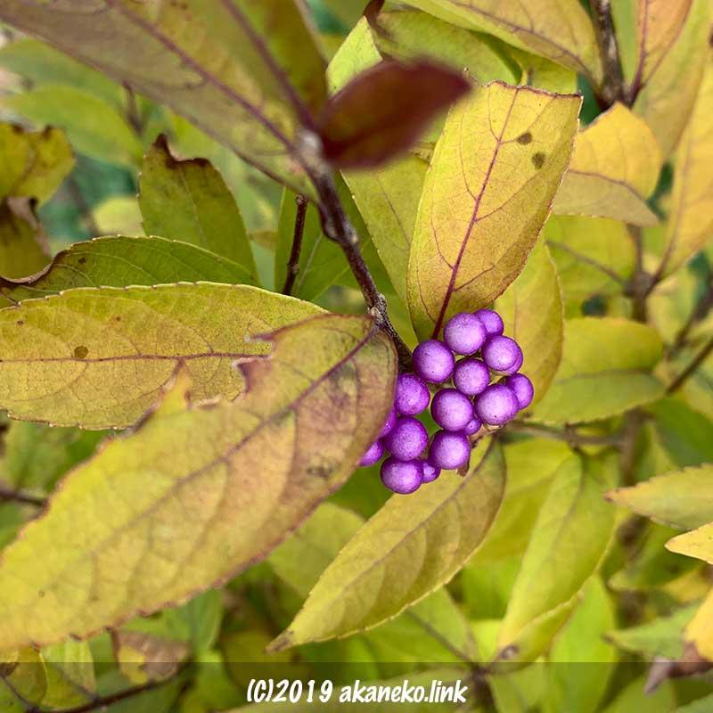 コムラサキの秋枯れ