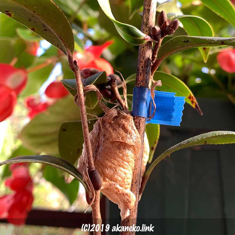 椿の苗に産み付けられたオオカマキリの卵嚢
