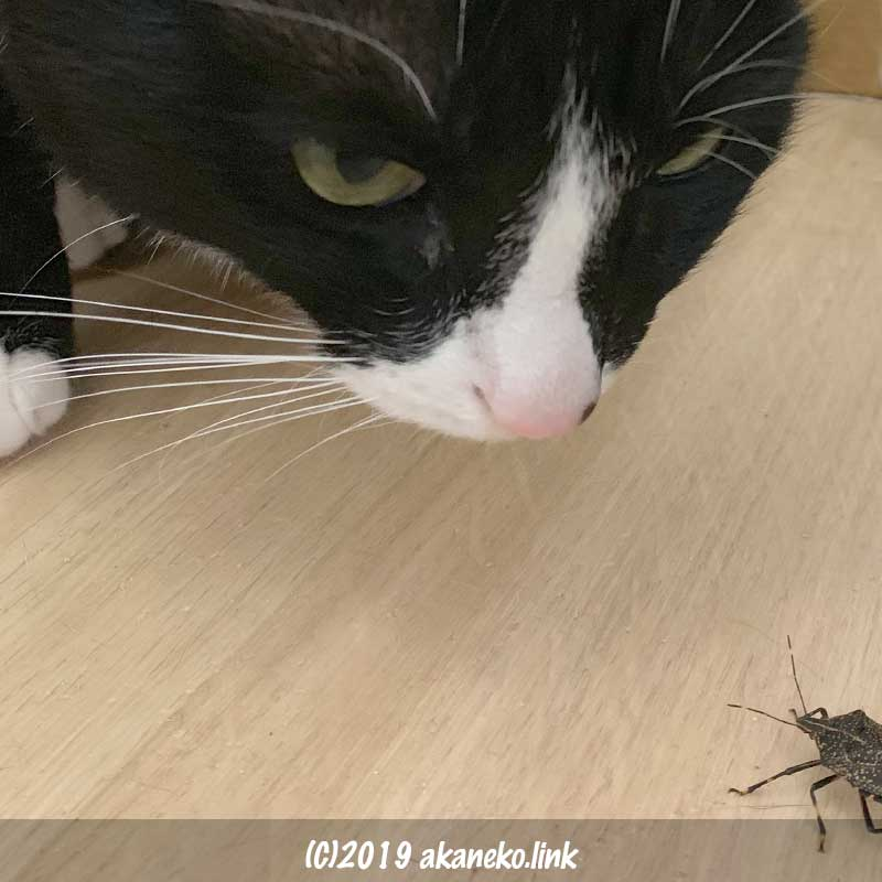 カメムシに遭遇した猫