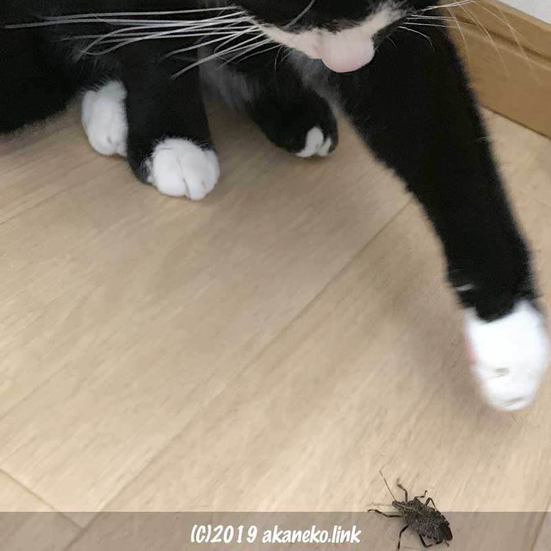 カメムシにちょっかいをだす猫