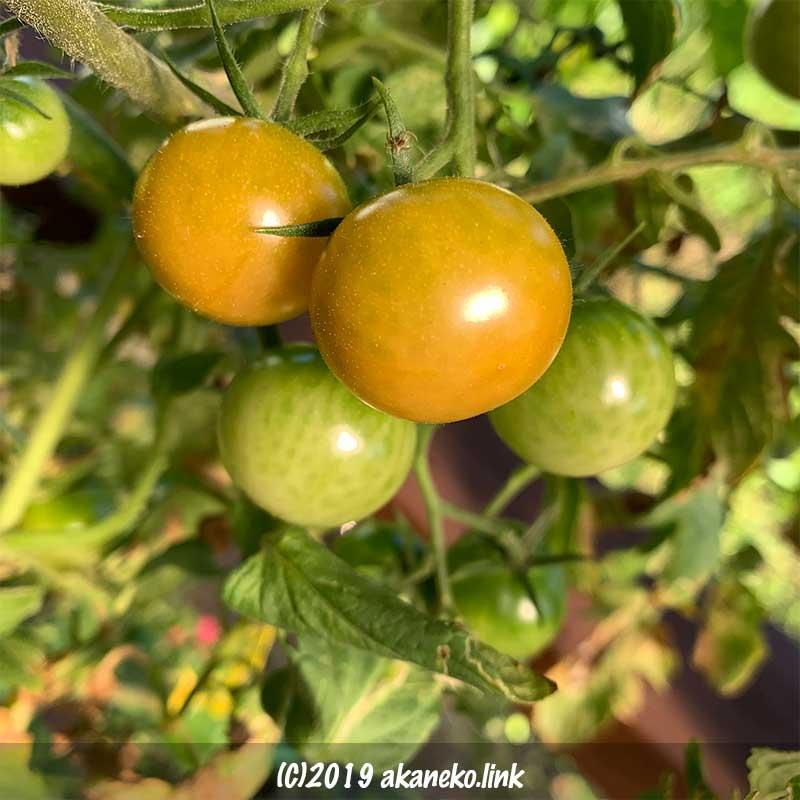 黄色く色づき始めた水耕栽培中の秋にミニトマト