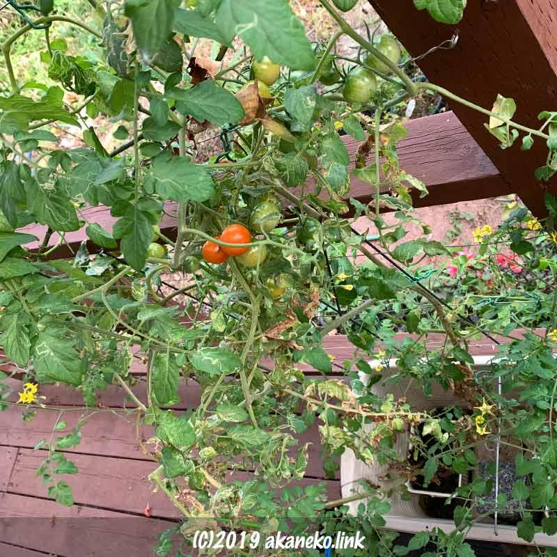 ウッドデッキの屋根の下で水耕栽培中の秋のミニトマト