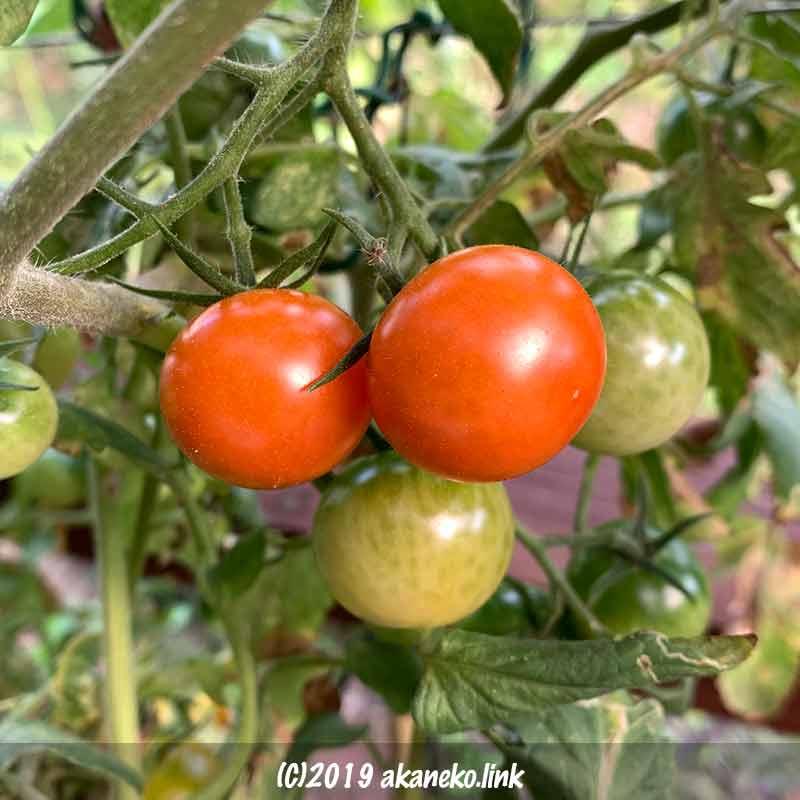 やっと完熟した水耕栽培の秋トマト