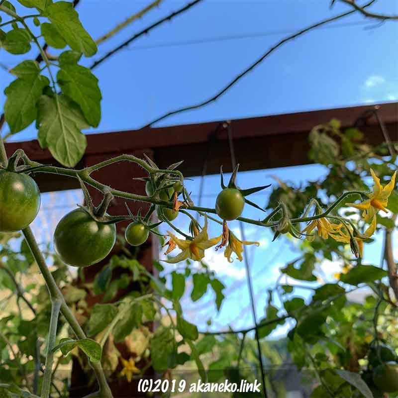 初冬に開花を続ける水耕栽培のミニトマト