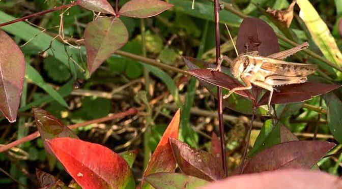 冬のアカネコの庭の常連昆虫:ツチイナゴの日光浴