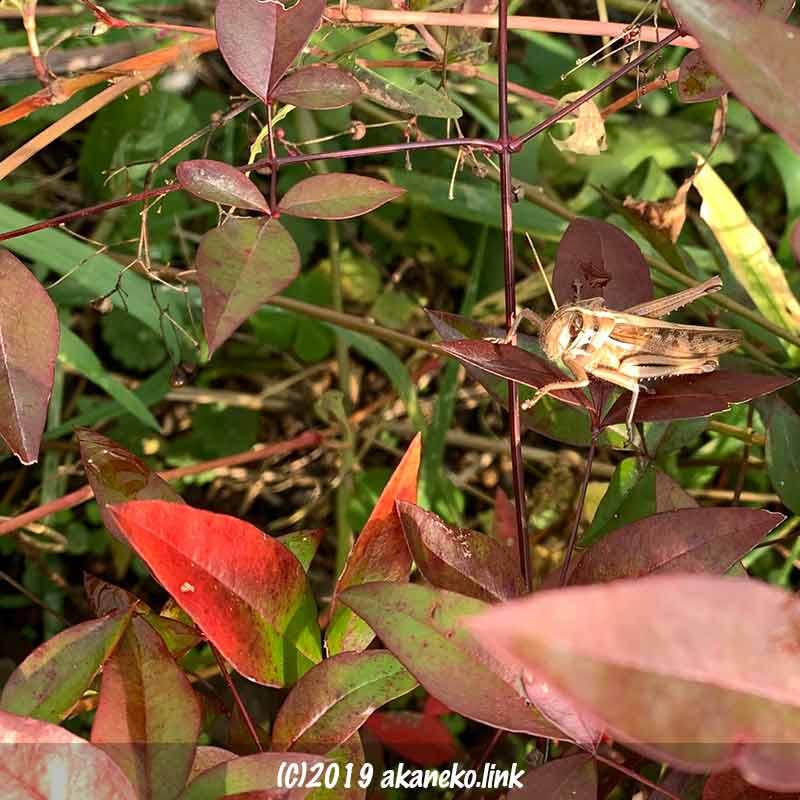 南天の葉の上の12月のツチイナゴ