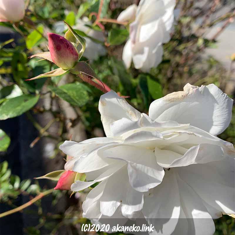 冬、12月に咲く白薔薇アイスバーグ