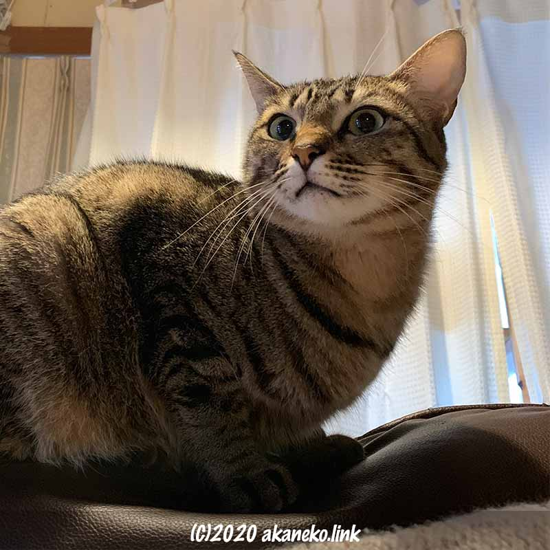 ソファの背に乗っているキジ猫お茶々